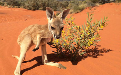 Tourism Australia's animal of the month – The Red Kangaroo