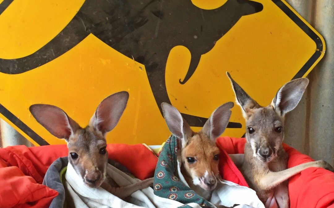 Update on our Kangaroo Hospital