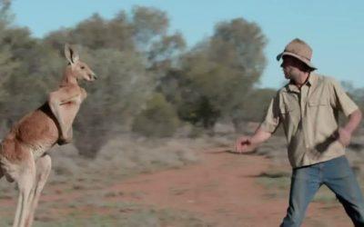 Brolga Rounding up Roger the Kangaroo