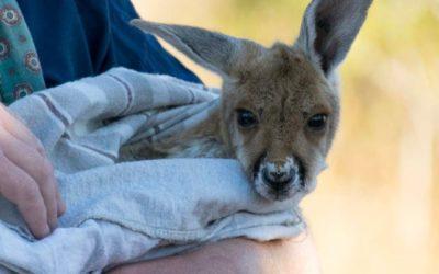Unmissable Alice Springs: The Kangaroo Sanctuary