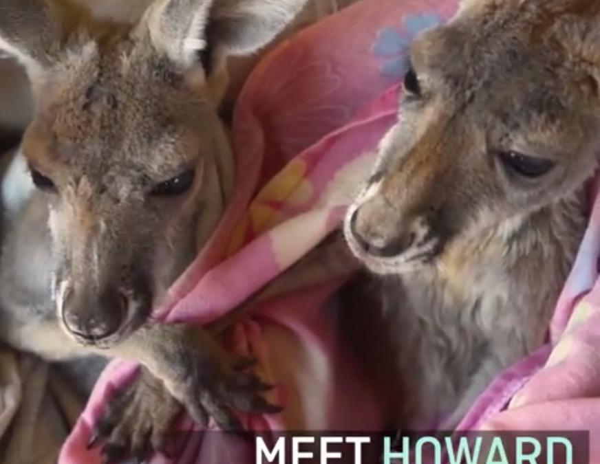 Visit our Kangaroos